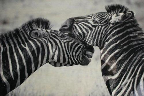 Schmuckschatulle Zebras schwarz – FC-110-121
